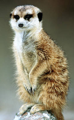 Photograph - Meerkat by Millard H. Sharp