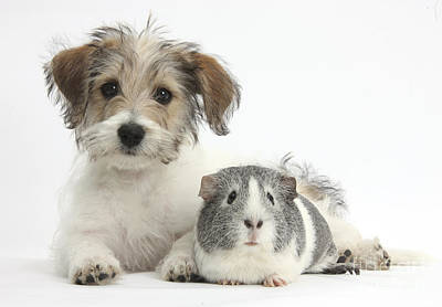 House Pet Photograph - Puppy And Guinea Pig by Mark Taylor