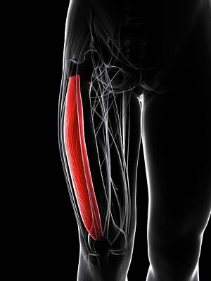 Thigh Muscle Art Print by Sciepro/science Photo Library