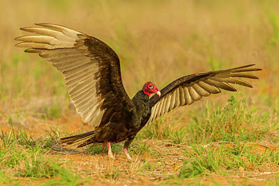 Turkey Vulture Photograph - Usa, Texas, Hidalgo County by Jaynes Gallery