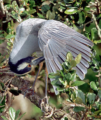 Photograph - Yellow Crowned Night Heron by Millard H. Sharp