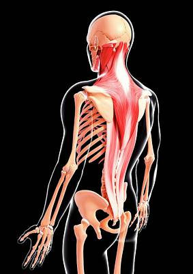 Human Musculature Art Print by Pixologicstudio/science Photo Library