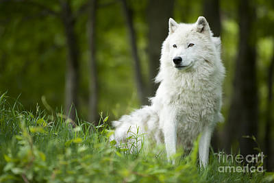 Arctic Wolf Print by Wolves Only