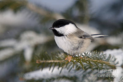 Black-capped Chickadee Print by Linda Freshwaters Arndt