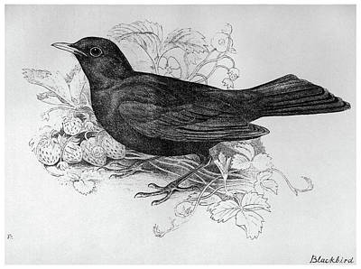 Blackbird Drawing - Blackburn Birds, 1895 by Granger
