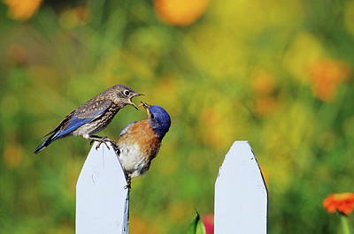 Eastern Bluebird (sialia Sialis Art Print by Richard and Susan Day
