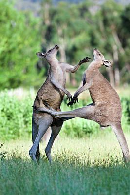 Marsupial Photograph - Eastern Grey Kangaroo (macropus by Martin Zwick