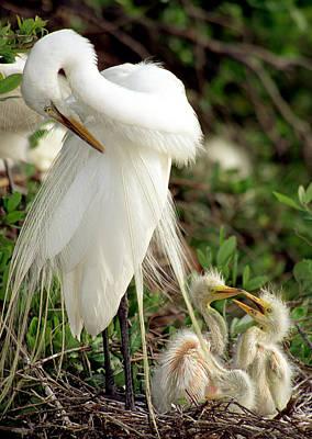 Photograph - Great Egrets by Millard H. Sharp