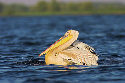 Great White Pelican (pelecanus Art Print by Martin Zwick