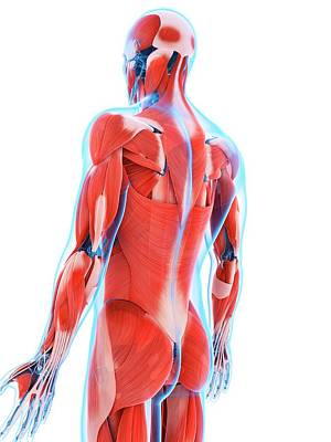 Human Back Muscles Art Print by Sebastian Kaulitzki