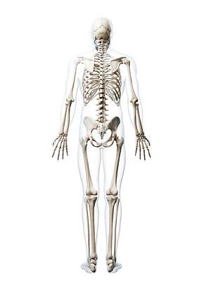 Biomedical Illustration Photograph - Human Skeletal System by Sebastian Kaulitzki