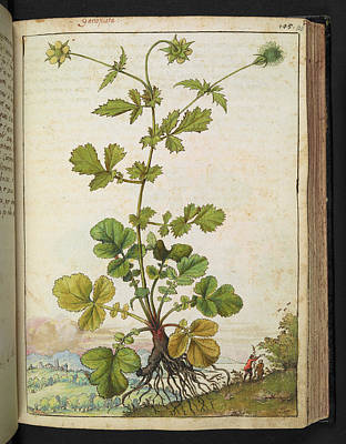 Avens Photograph - Medicinal Plant by British Library