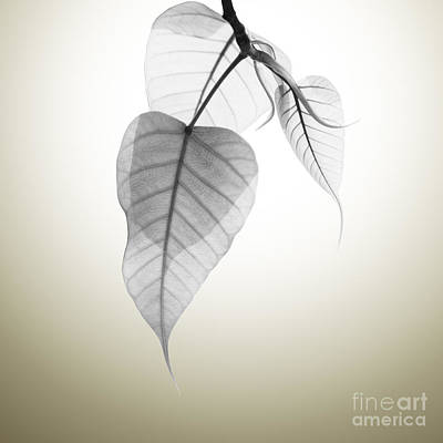 Autumn Leaf Photograph - Pho Or Bodhi by Atiketta Sangasaeng