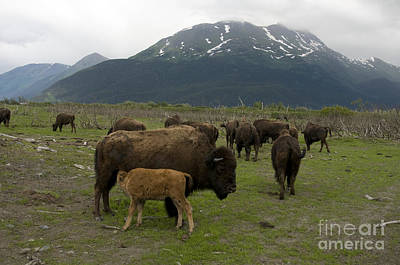 Wood Bison Art Print by Mark Newman