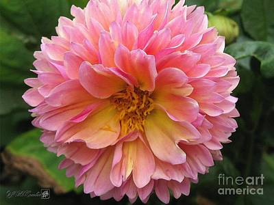 Dahlia From The Showpiece Mix Art Print by J McCombie
