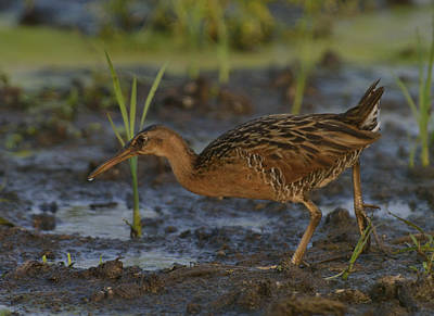 Bringing The Outdoors In - King Rail in a wetland by Mark Wallner
