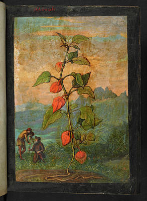 Chinese Herbs Photograph - Medicinal Plant by British Library