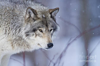Timber Wolf Photograph - Timber Wolf by Michael Cummings