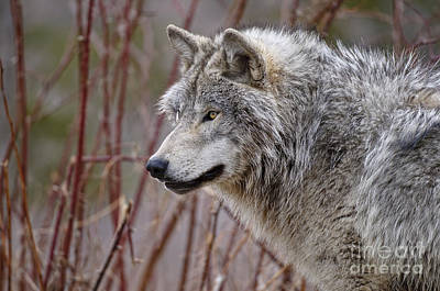 Timber Wolf Pictures Art Print