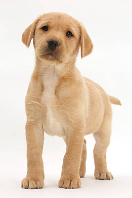 Lab Pup Photograph - Yellow Labrador Retriever Puppy by Mark Taylor