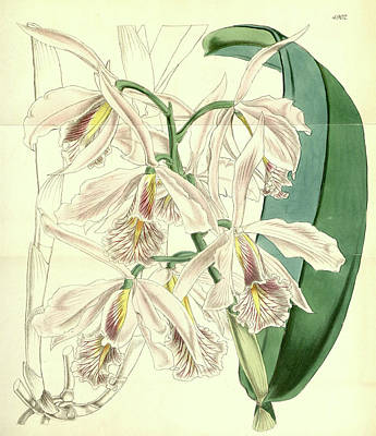 Blooming Drawing - 19th Century Botanical Colour Print. Botanical Illustration by Quint Lox
