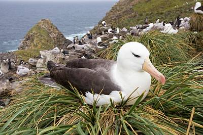 Falkland Islands Photograph - A Black Browed Albatross by Ashley Cooper
