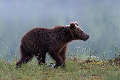 Photograph - A Juvenile European Brown Bear, Ursus by Sergio Pitamitz