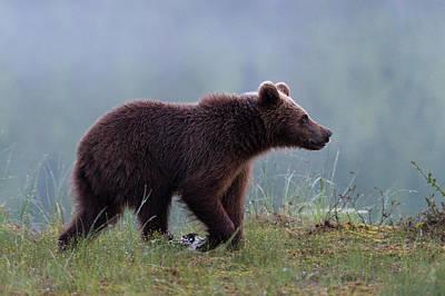 Animal Behavior Photograph - A Juvenile European Brown Bear, Ursus by Sergio Pitamitz