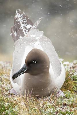 Albatross Photograph - A Light Mantled Albatross by Ashley Cooper
