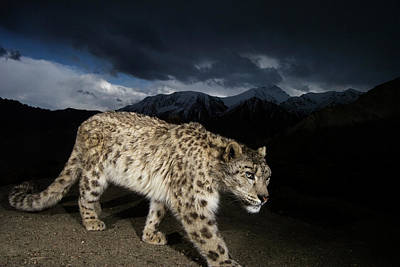 Photograph - A Remote Camera Captures An Endangered by Steve Winter