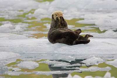 A Sea Otter Rests On A Small Iceberg Art Print by Hugh Rose