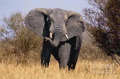 Photograph - African Elephant by Diane Kurtz