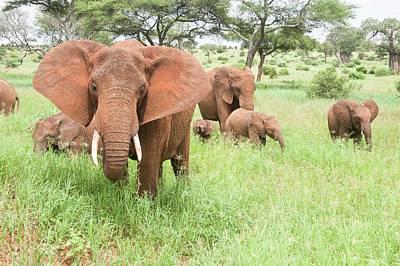Pachyderm Photograph - African Elephant Loxodonta Africana by Photostock-israel