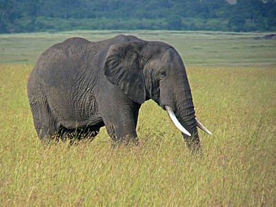 Photograph - African Elephant by Tony Murtagh