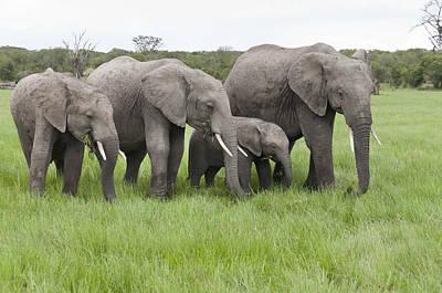 Photograph - African Elephants Grazing  Kenya by Tui De Roy