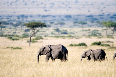 Focus On Foreground Photograph - African Elephants Loxodonta Africana by Panoramic Images