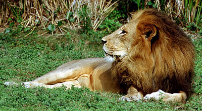 Photograph - African Lion by Millard H Sharp