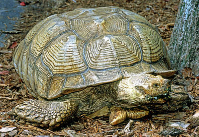 Photograph - African Spurred Tortoise by Millard H. Sharp