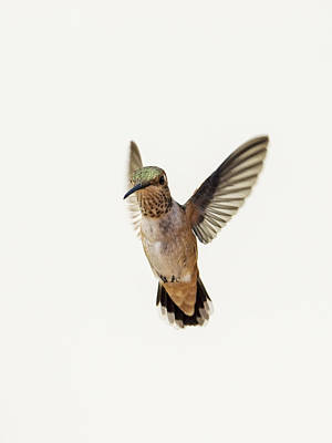 Mcherdering Photograph - Allen's Hummingbird by Mike Herdering