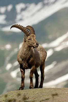 Alpine Ibex Art Print