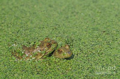 Photograph - American Bullfrogs by Dan Suzio
