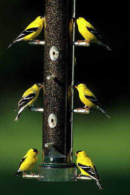 American Goldfinch Photograph - American Goldfinches (carduelis Tristis by Richard and Susan Day