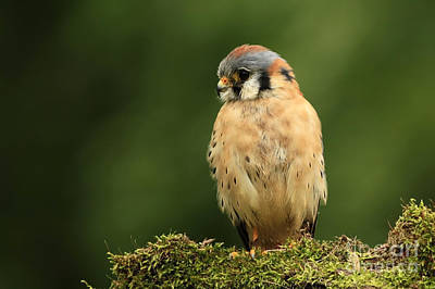 American Kestrel Art Print by Inspired Nature Photography Fine Art Photography