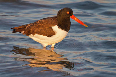 Rockport Photograph - American Oystercatcher (haematopus by Larry Ditto