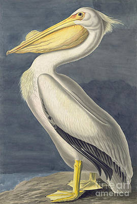Animals Drawings - American White Pelican by Celestial Images
