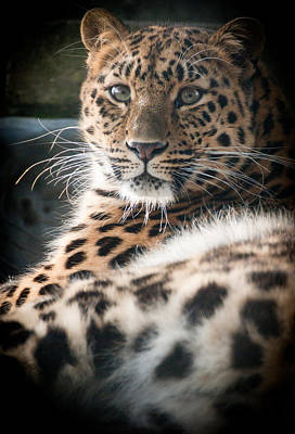 Amur Leopard Art Print by Chris Boulton
