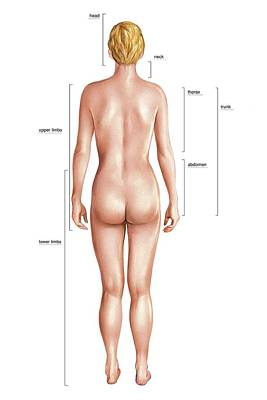 Anatomical Differences Between Sexes Art Print by Asklepios Medical Atlas