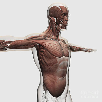 Muscular Digital Art - Anatomy Of Male Muscles In Upper Body by Stocktrek Images