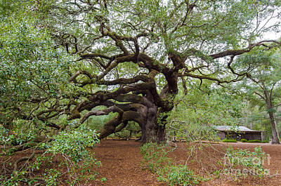 Photograph - Quercus Virginiana by Dale Powell