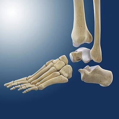 Ankle Joint Anatomy Print by Springer Medizin